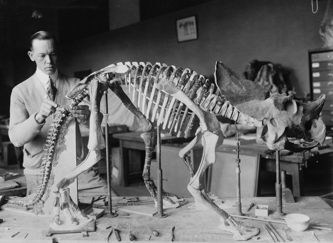 Norman Ross preparing the skeleton of a baby Brachyceratops for exhibition in 1921.